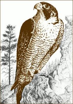 Falcon clipart peregrine falcon Peregrine Clipart clipart photo#10 Falcon