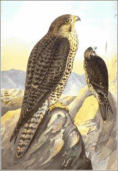 Falcon clipart peregrine falcon Clipart falcon Free images clipart