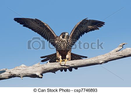 Falcon clipart peregrine falcon Peregrinus (Falco Peregrine Stock (Falco