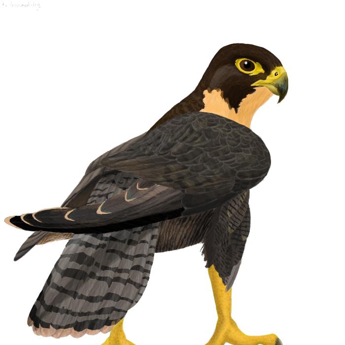 Peregrine Falcon clipart transparent Clip PNG PNG Transparent Free