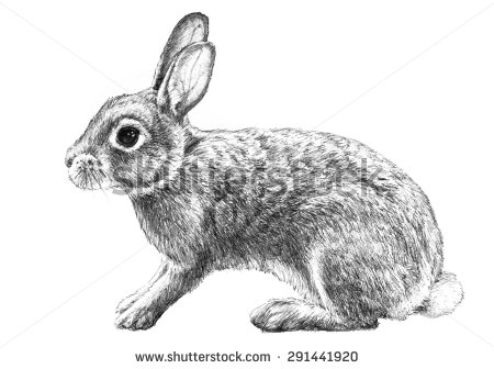 Drawn rabbit black and white Pencil white cottontail isolated drawn