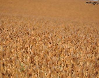 Feilds clipart corn field The Field Autumn Shenandoah fields