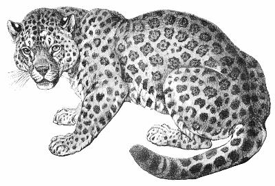 Drawn jaguar carnivore Download Jaguar Art Jaguar Clip