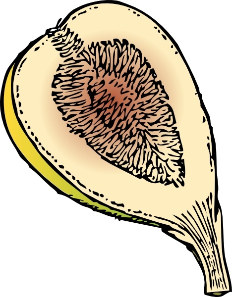 Fig clipart #2