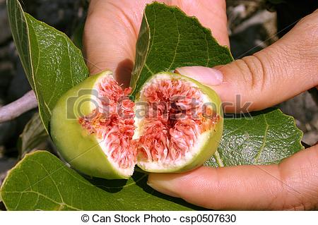 Fig clipart fresh Hand in fig Open of