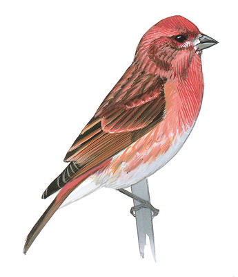 Red Headed Finch clipart pink bird #1