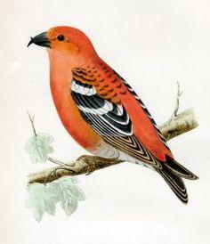 Red Headed Finch clipart happy bird #1