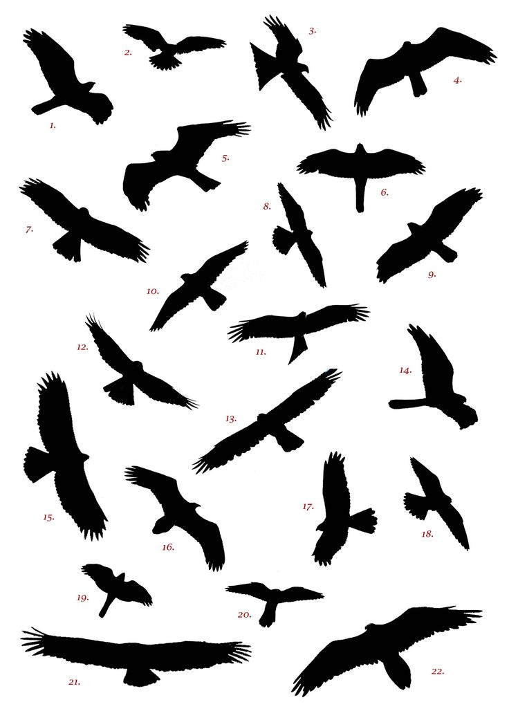 Pigeon clipart air animal Competition ideas Flying Spanish ClipArt