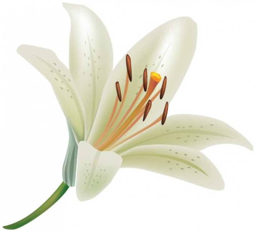 Floral clipart lily  lily floral white pinterest