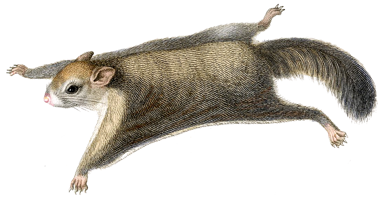 Flying Squirrel clipart Flying Squirrel Adorable Flying Graphics