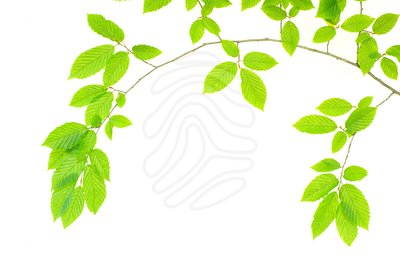 Foliage clipart Free Green Images Clipart Images
