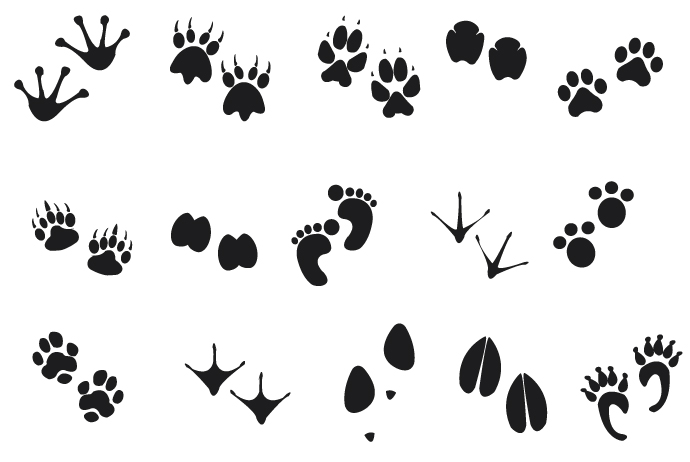 Footprint clipart raccoon Free Clipart  clipart Collection