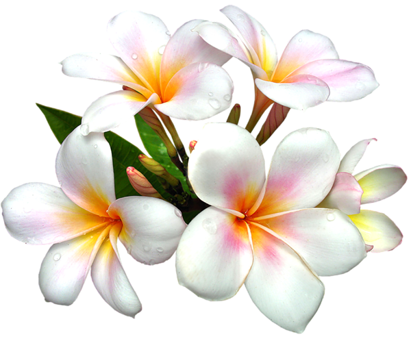 Frangipani clipart single White PNG Flower Flowers
