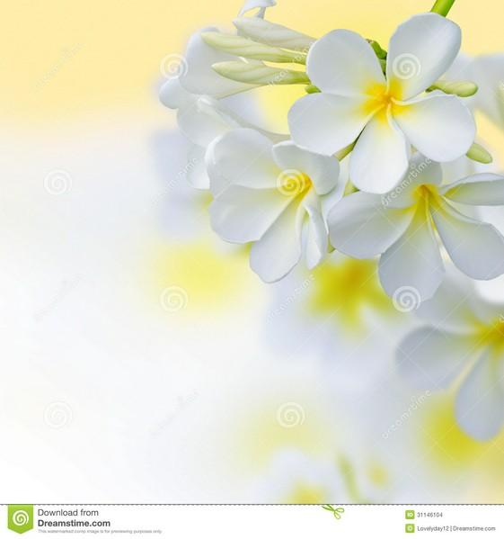 Frangipani clipart border  Spa Images Flower Design