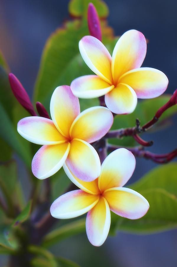 Frangipani clipart spa Best Jade Flowers flowers Pinterest