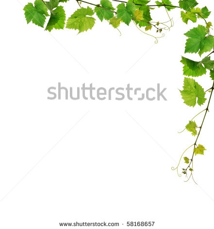 Ivy clipart jungle leaves background Borders branches vine Grapevine white