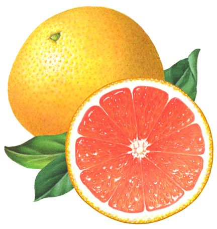 Grapefruit clipart moldy On Find & best 781