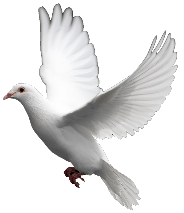 Mourning Dove clipart wedding symbol Of Peace Images: Symbol White