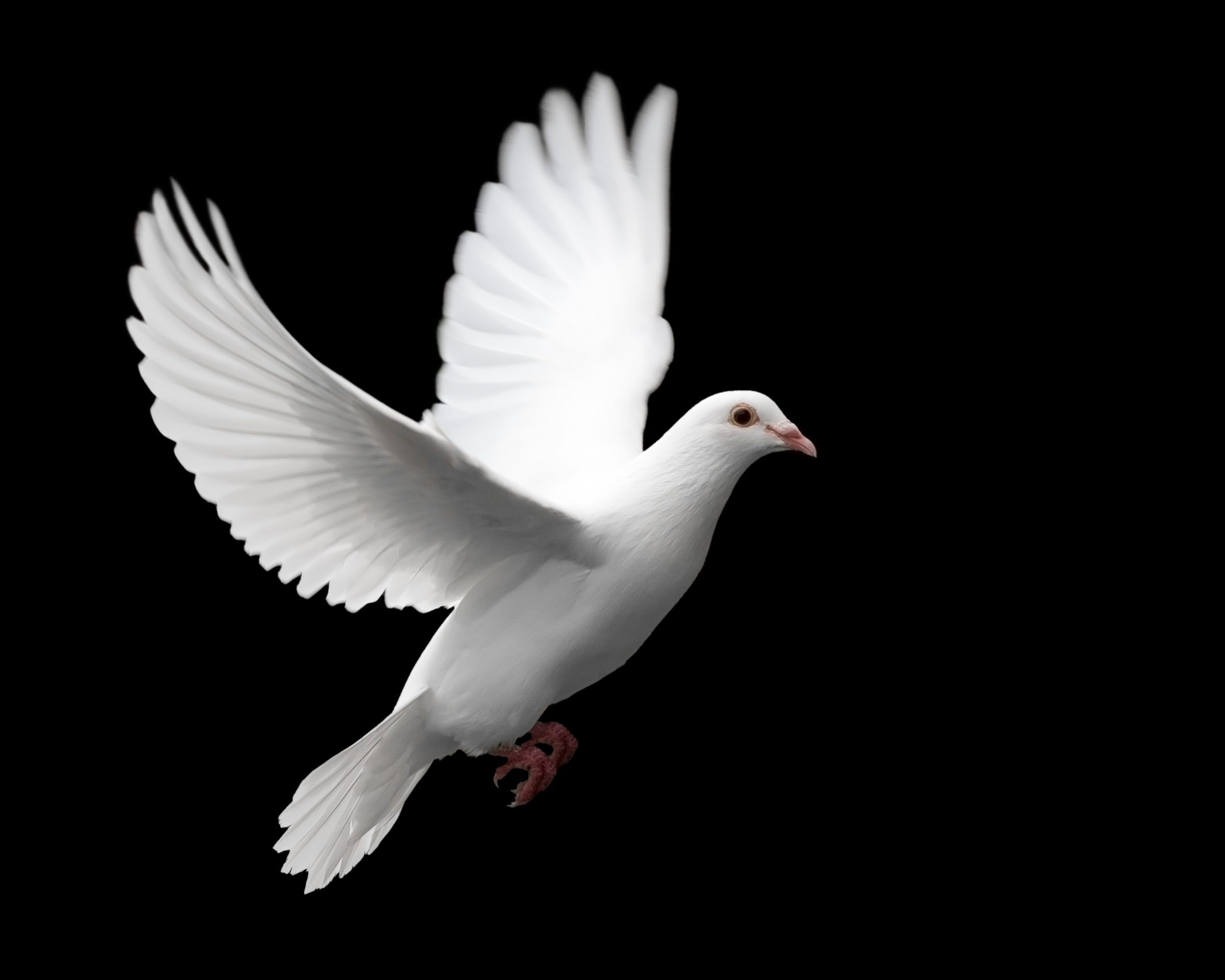 Peace Dove clipart pigeon flying #5