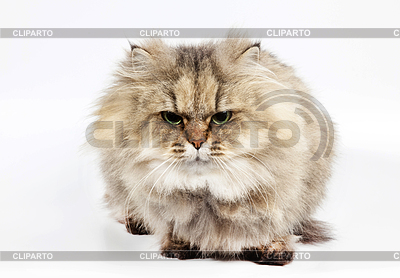 Furry clipart persian cat #8