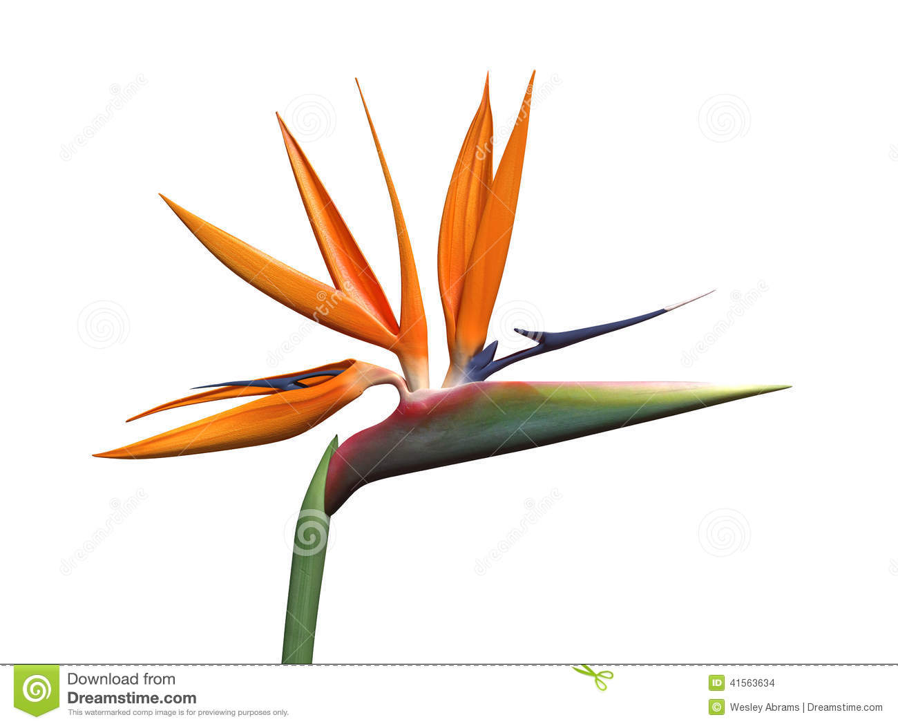 Bird Of Paradise clipart (1  (1 551 Clipart