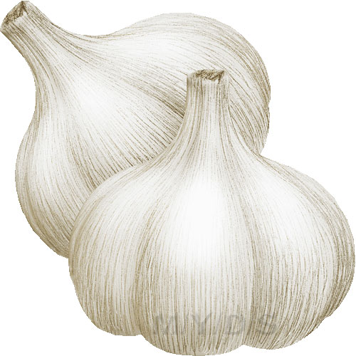 Garlic clipart happy Art Sativum Allium Garlics /