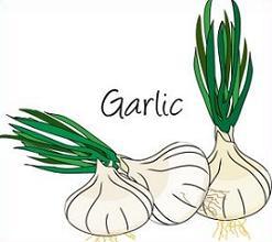 Garlic clipart Garlic Clipart Free Clipart Garlic