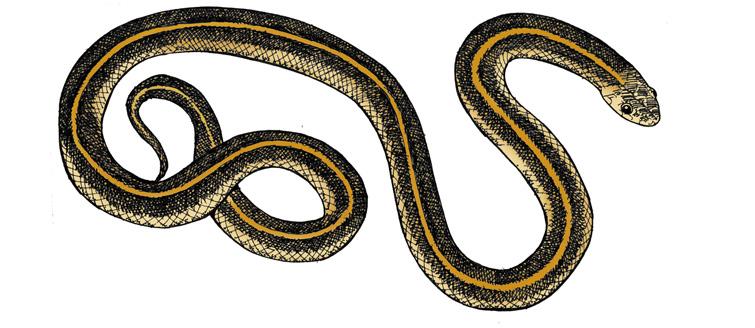 Garter Snake clipart (Common Garter) Snake Common Garter)