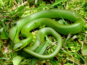 Smooth Green Snake clipart black and white Smooth Snake Green IF&W Snakes: