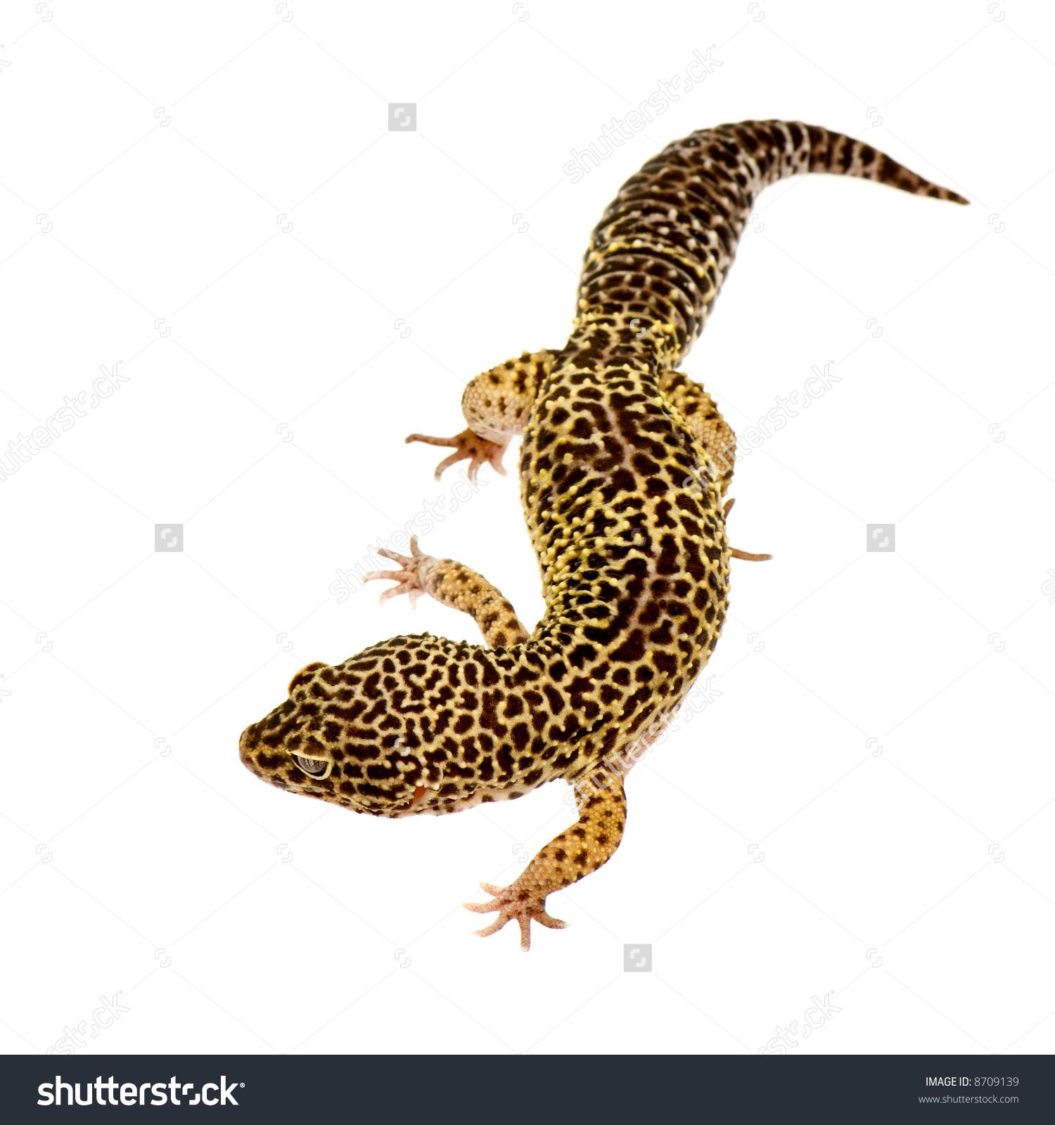 Leopard Lizard clipart crested Clipart Lizard Leopard Lizard Leopard