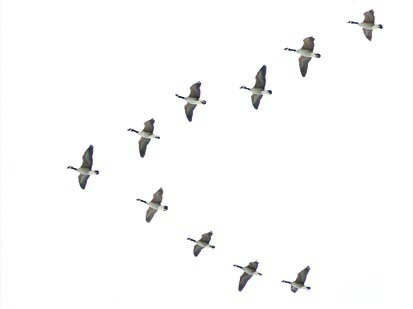 Geese Migration clipart Backgrounds three Mind just created