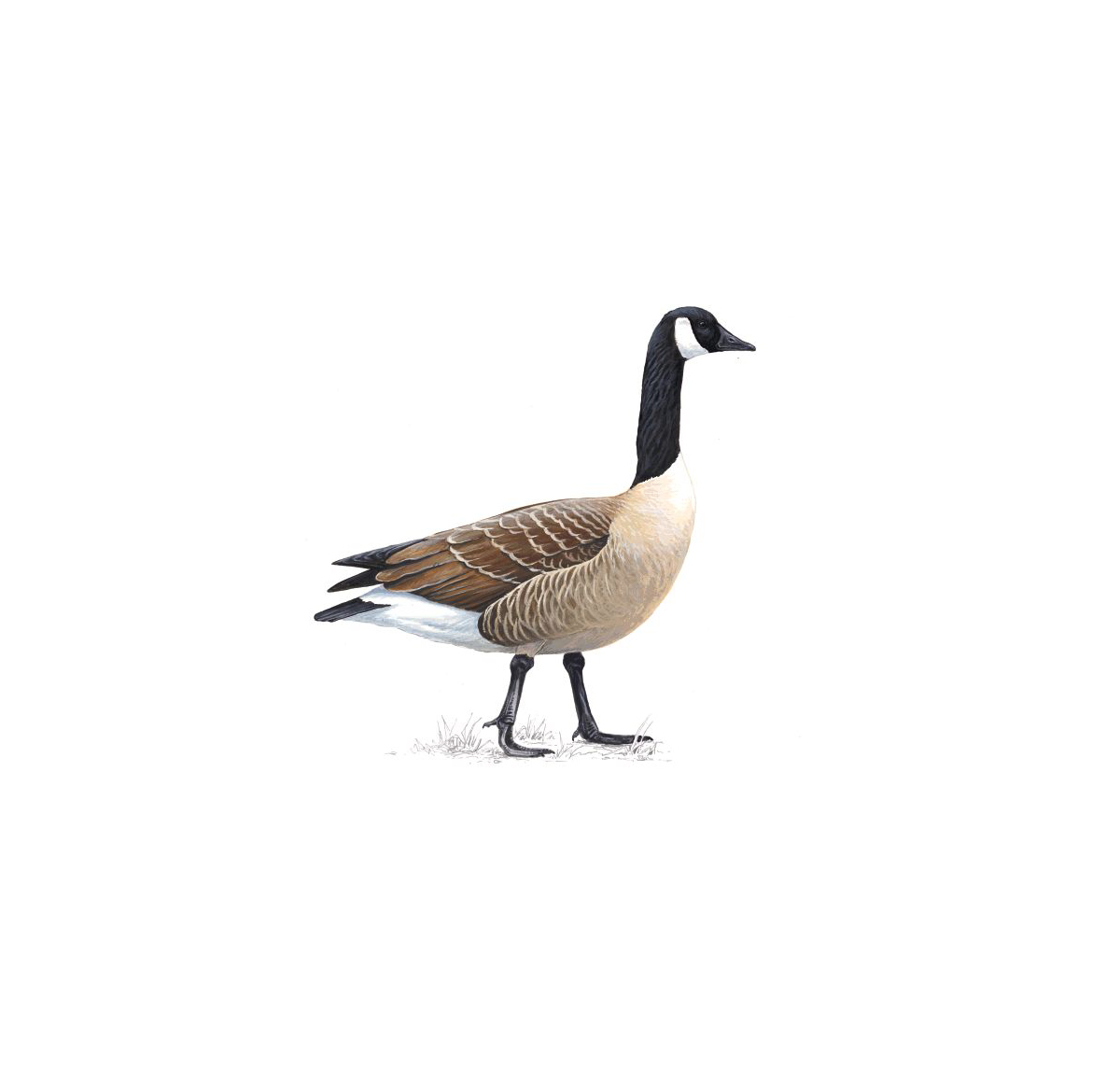 Geese Migration clipart Goose interesting history and facts