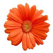 Gerbera clipart  Flower Gerbera In gerber