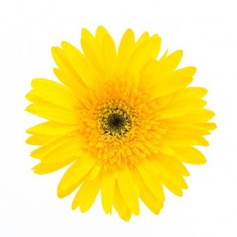 Gerbera clipart sunflower Flower white Vectors PSD Photos