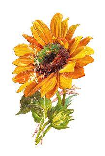 Gerbera clipart sunflower Clip Images: Graphic: Art Sunflower