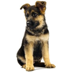 German Shepherd clipart Dog Polyvore Shepherd German Dog