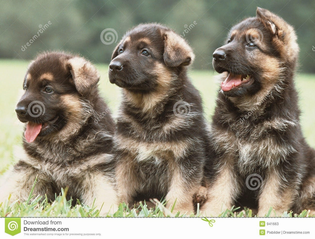 Germany clipart german shepherd puppy The Jungle: Rules Sheppard Rules