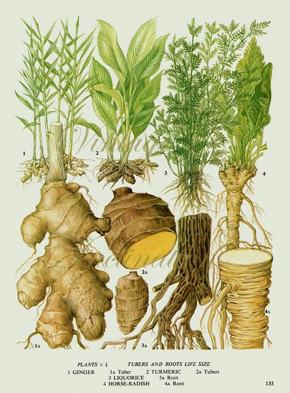 Turmeric clipart herbs and spice Print Vintage 25+ GINGER vegetables