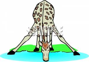 Giraffe clipart drink water A Giraffe Animal clipart drinking