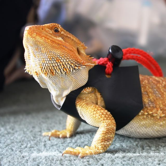 Godzilla clipart bearded dragon Dragon  Pinterest Bearded best