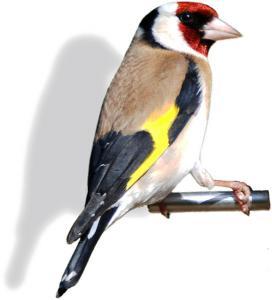 Goldfinch clipart Goldfinch Back Goldfinch Art Clip