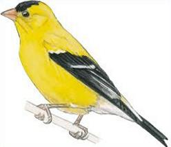 Goldfinch clipart Eastern Goldfinch Free Goldfinch Eastern
