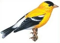 Goldfinch clipart Willow Goldfinch Free Goldfinch Willow