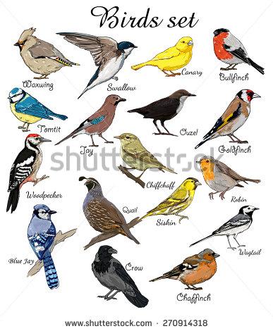 Sea Bird clipart robin #1