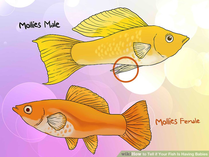 Goldfish clipart baby fish Fish Is 3 wikiHow Step