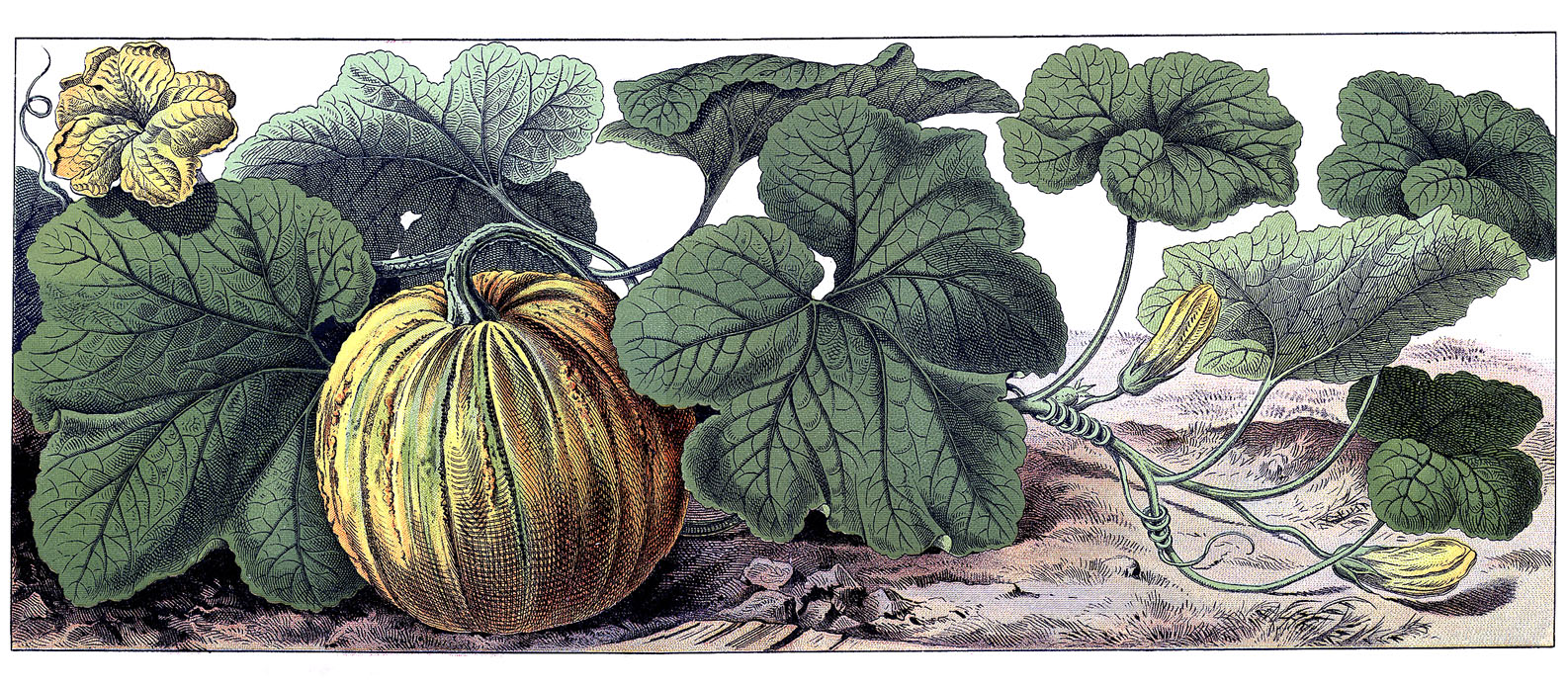Drawn pumpkin pumpkin plant Botanical Graphic – Fairy Vintage