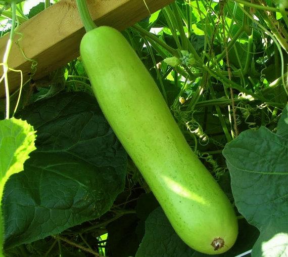 Guava clipart gourd Edible bottle Calabash SALE BIG