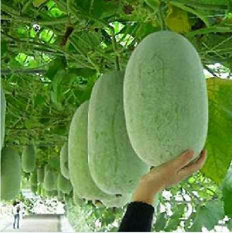 Gourd clipart sigarilyas Best images Pinterest KUBO KUNDOL