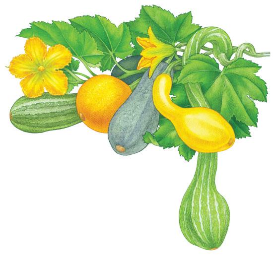 Zucchini clipart summer squash Organic Gardening Squash Growing Summer