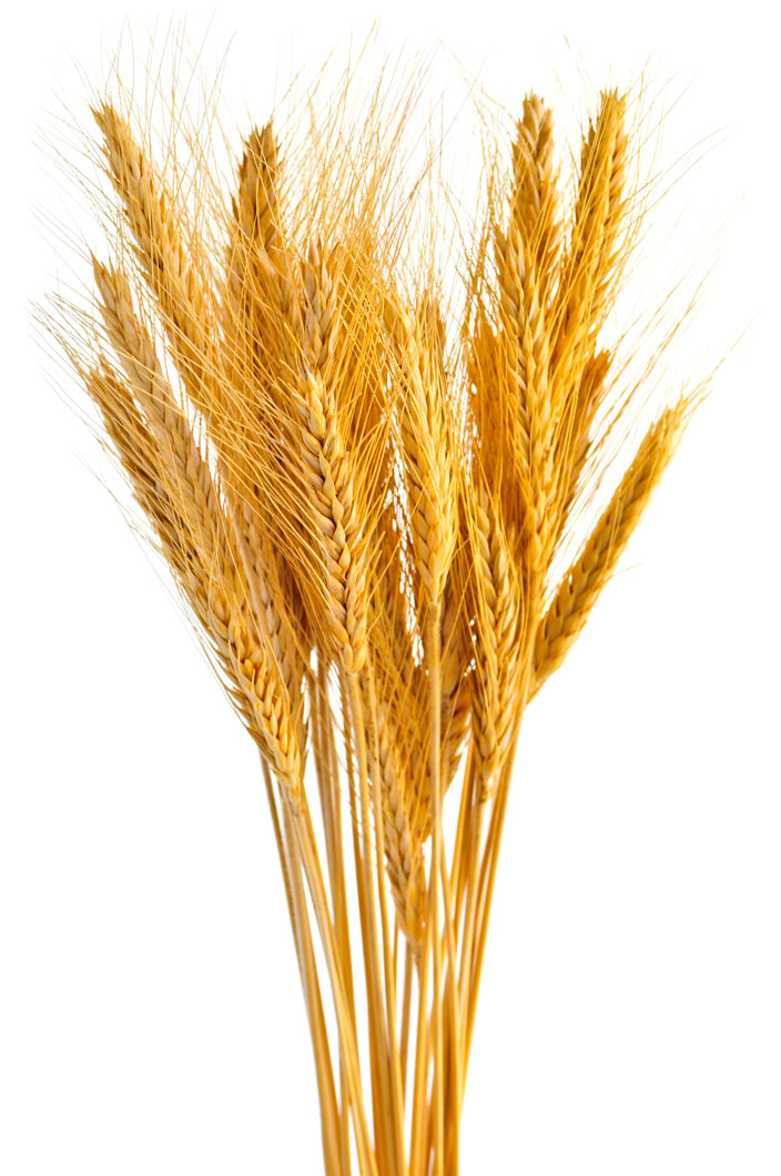 Grain clipart wheat bundle Bundle Wheat Art Wheat Bundle